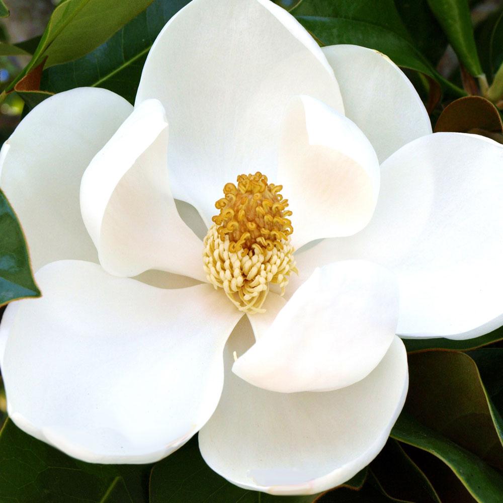 Magie der Magnolien 5