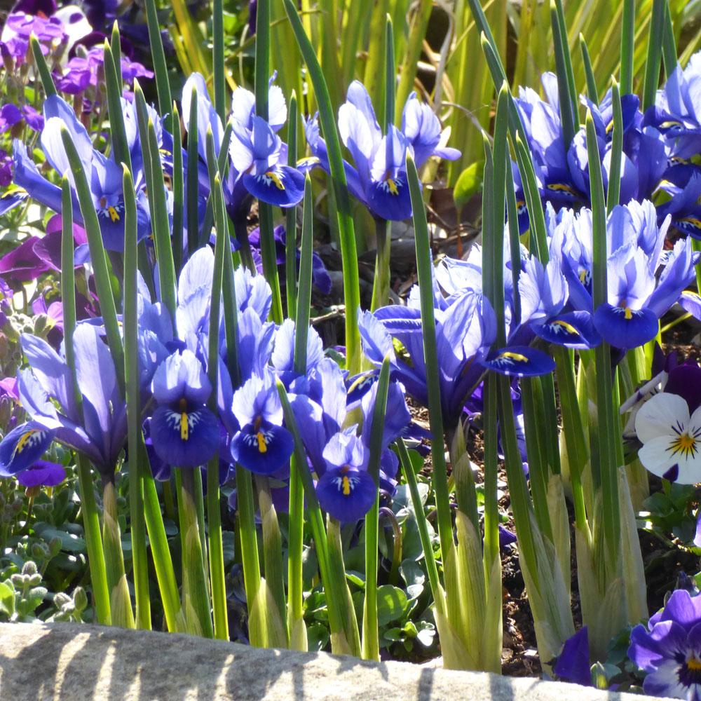 Iris reticullata