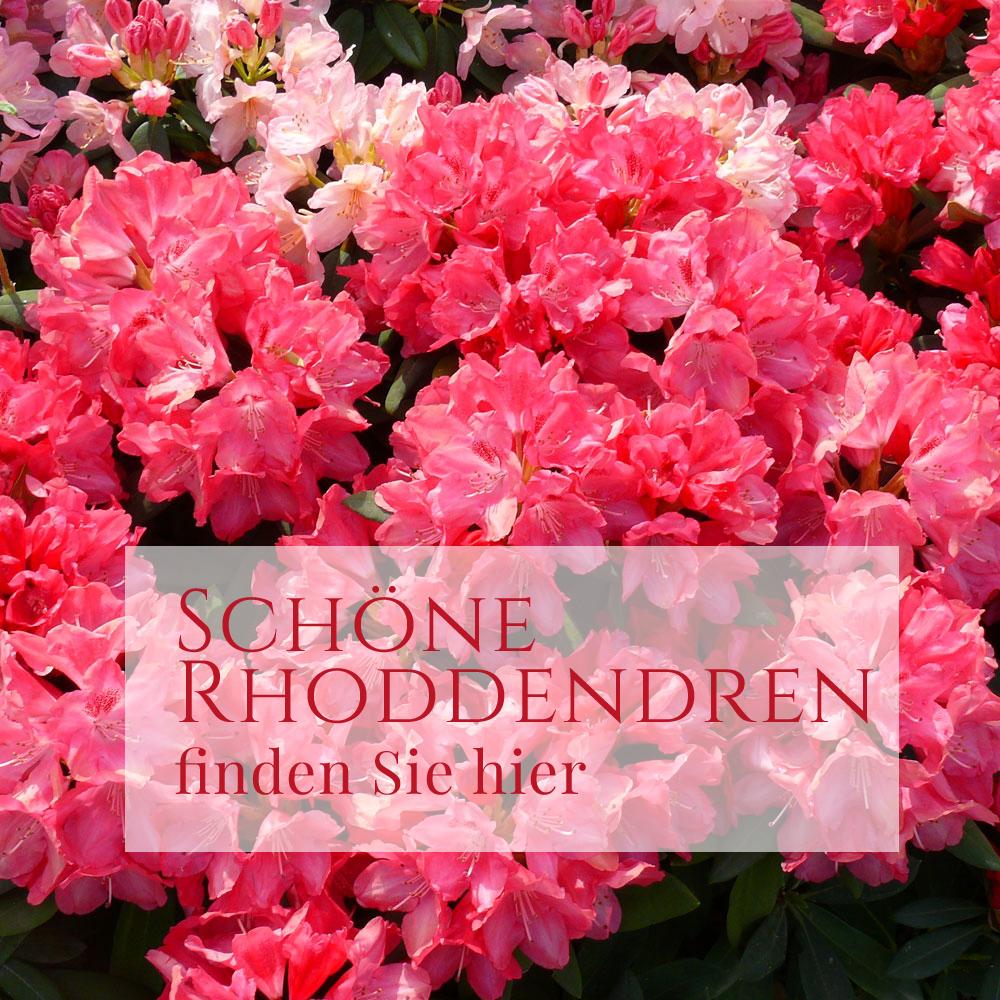 Rhododendron im Farbenrausch 1