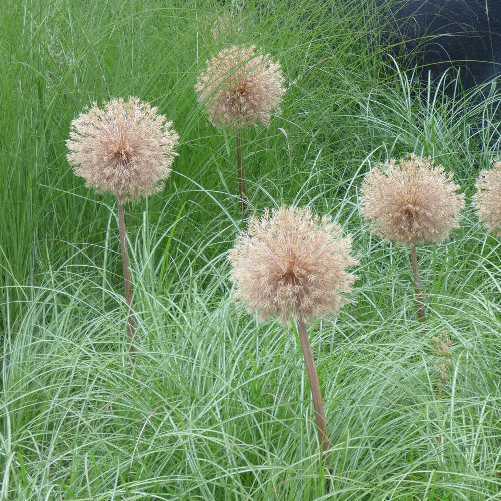 Zierlauch - der Star in imposanten Frühlingsbeeten 13
