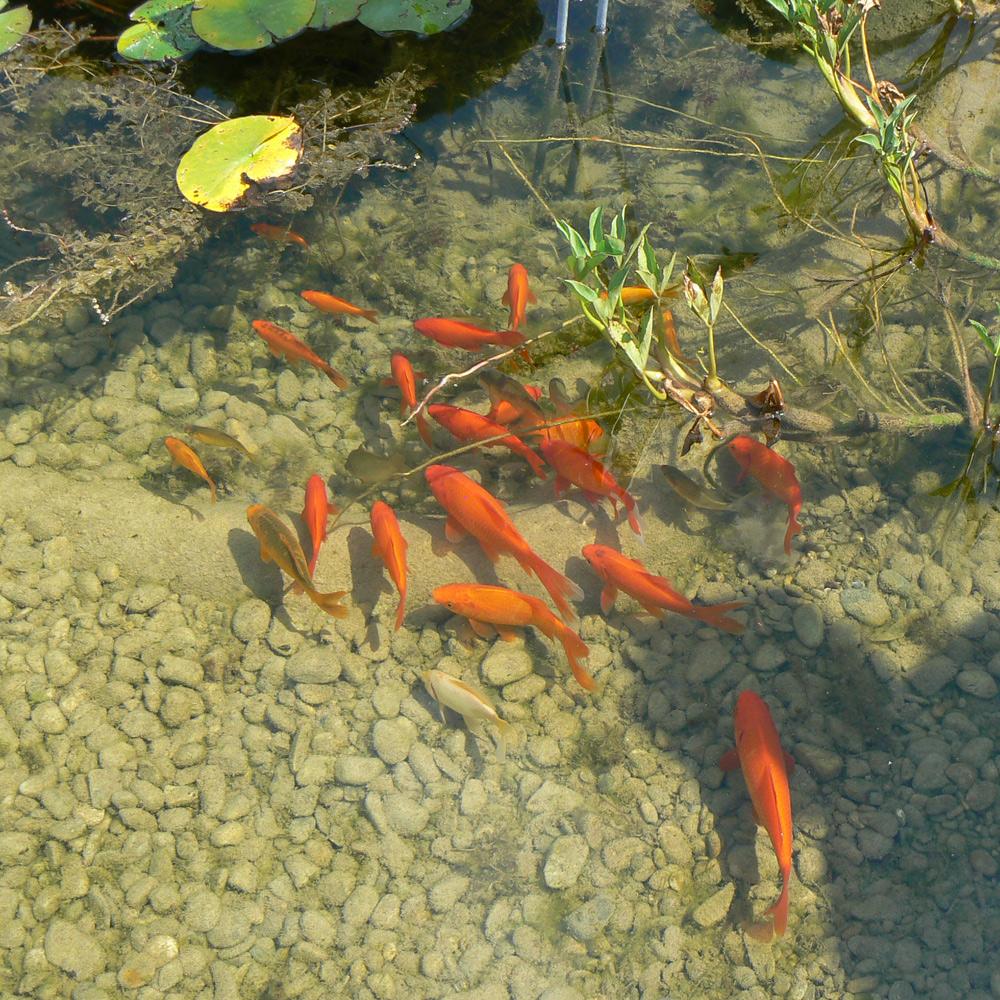 Fische im Naturteich