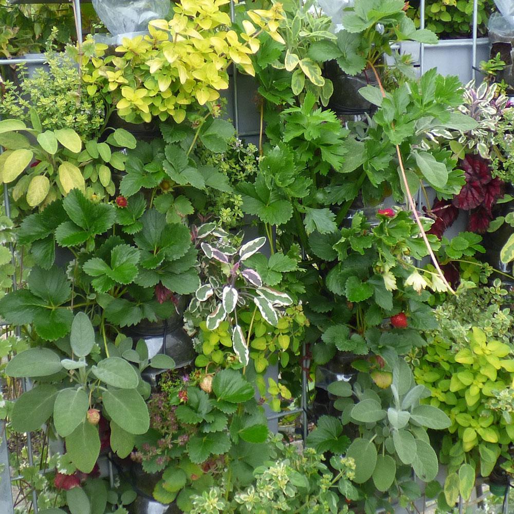 Erdbeeren pflanzen - der unkomplizierte Start zum eigenen Mini-Obstgarten 1