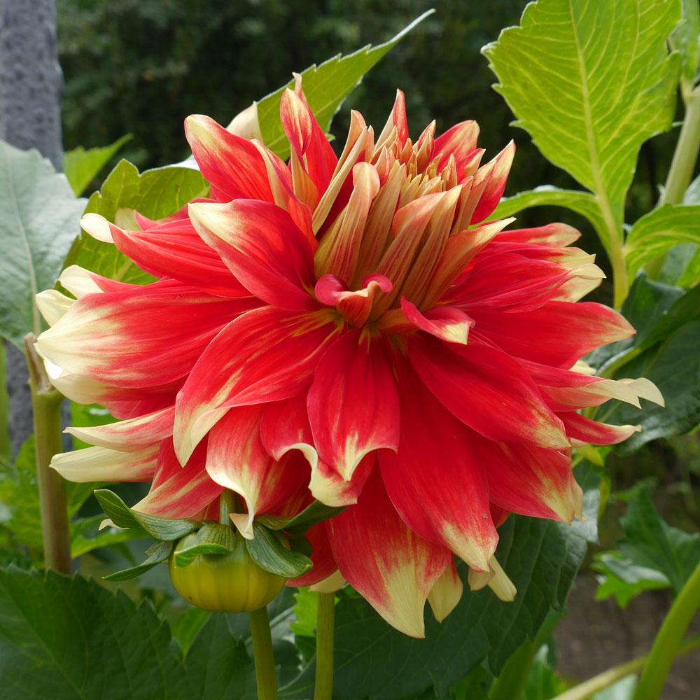 Dahlien, die Schönen des Hochsommers 8