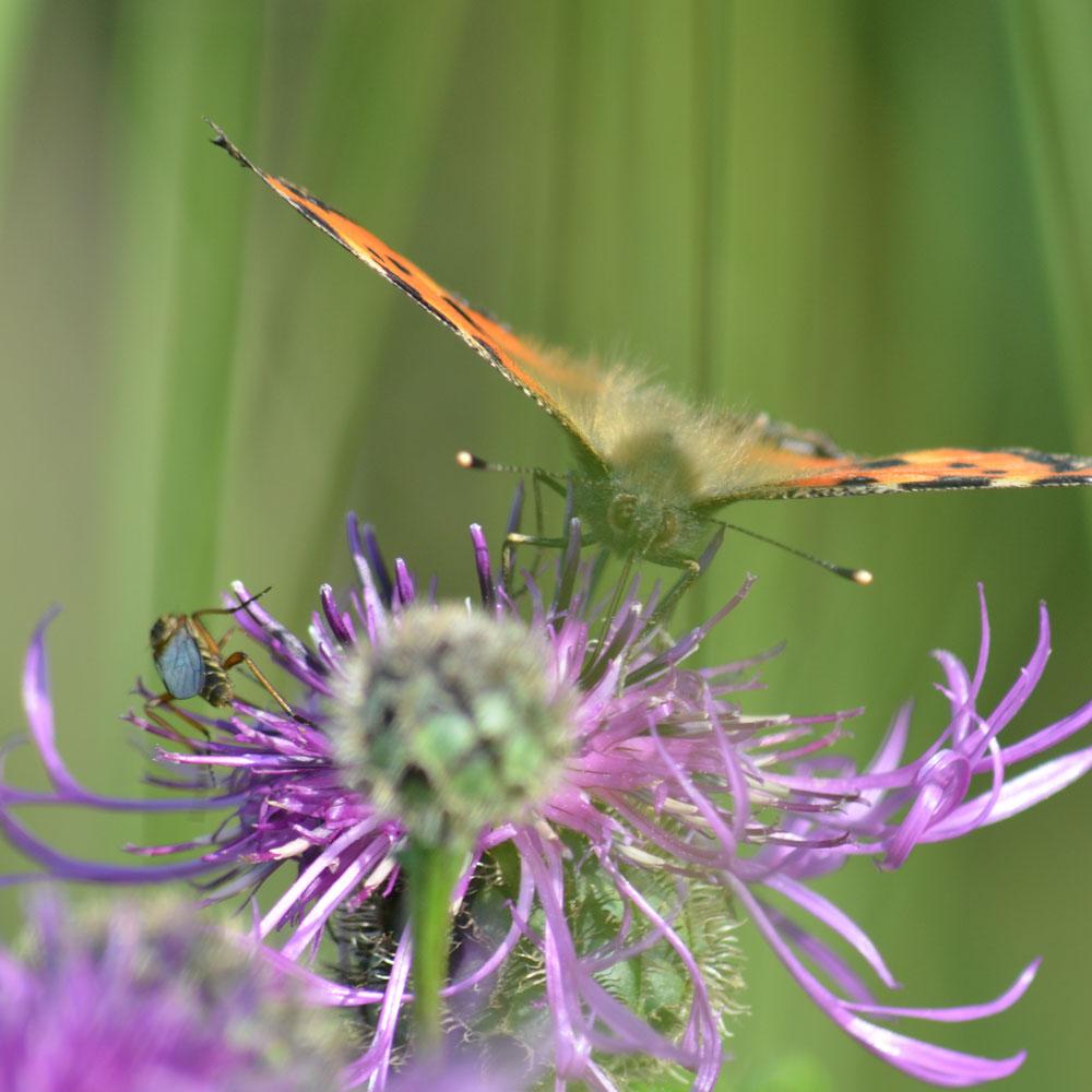 Schmetterlinge - so geben Sie ihnen einen Lebensraum im Garten 1