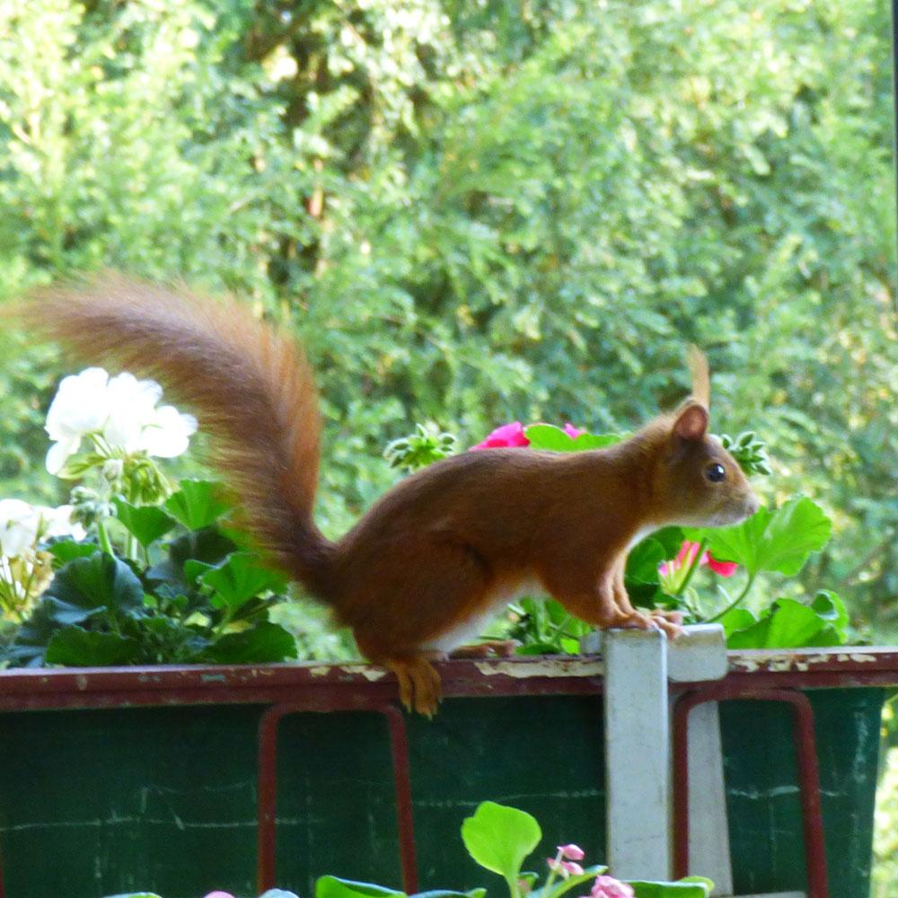 Eichhörnchen anlocken