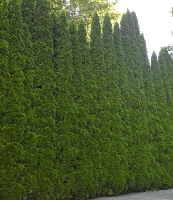 Lebensbaum-Hecke 'Smaragd' 40-60cm hoch 1
