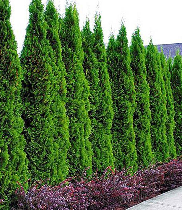Lebensbaum-Hecke 'Thuja Smaragd' 1