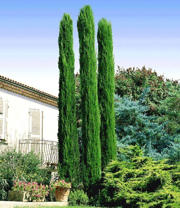 Echte Toskana 'Säulen-Zypresse' 1
