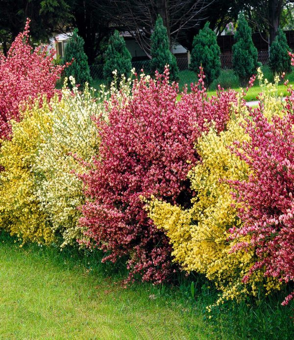 Ginster-Hecke 'Tricolor' 1