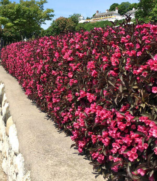 Blütenglocken-Hecke 'Wine & Roses' 1