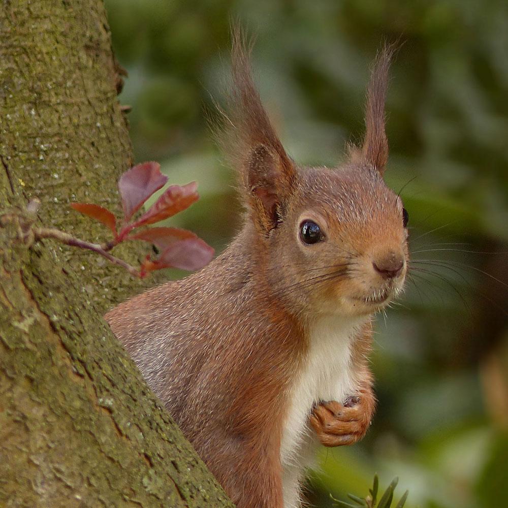 Eichhörnchen: Warum wir ihnen in diesem Winter helfen sollten 1