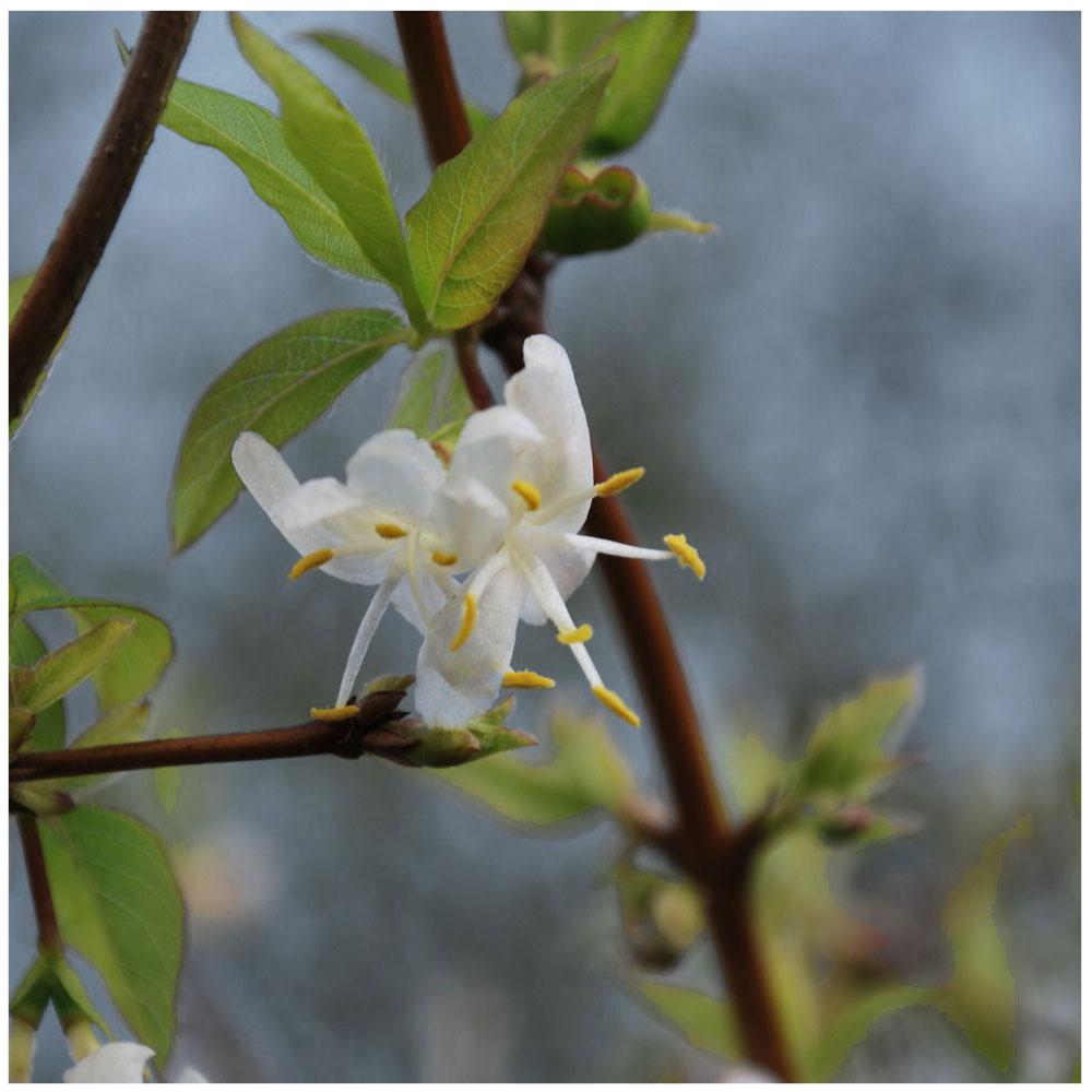 Duft-Heckenkirsche (Lonicera fragrantissima)
