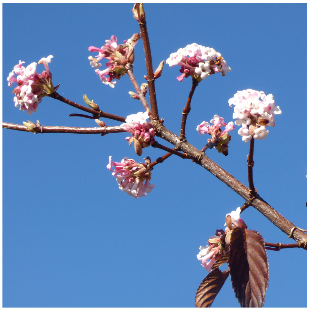 Duftschneeball (Viburnum bodnantense)