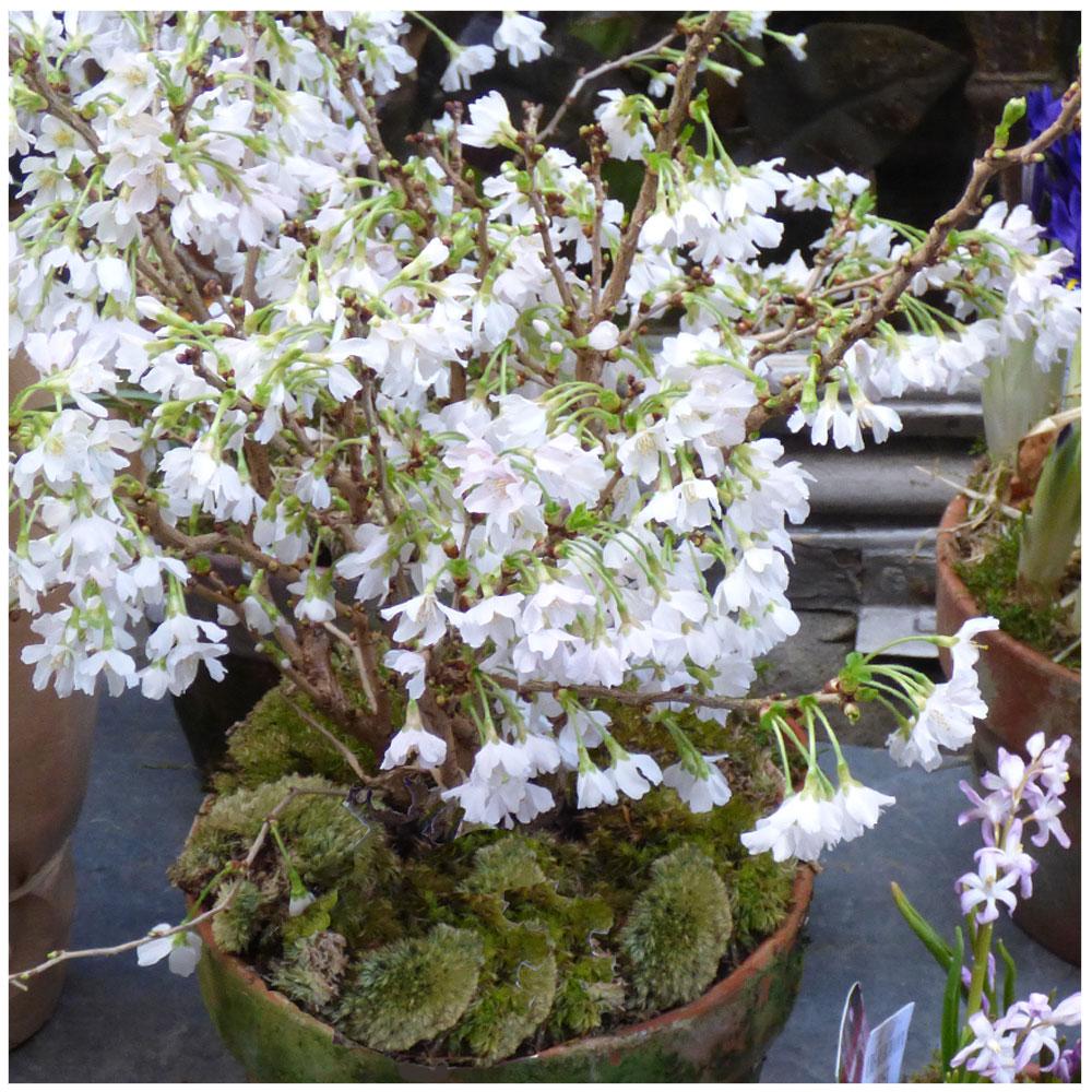 Schnee-Forsythie (Abeliophyllum distichum)