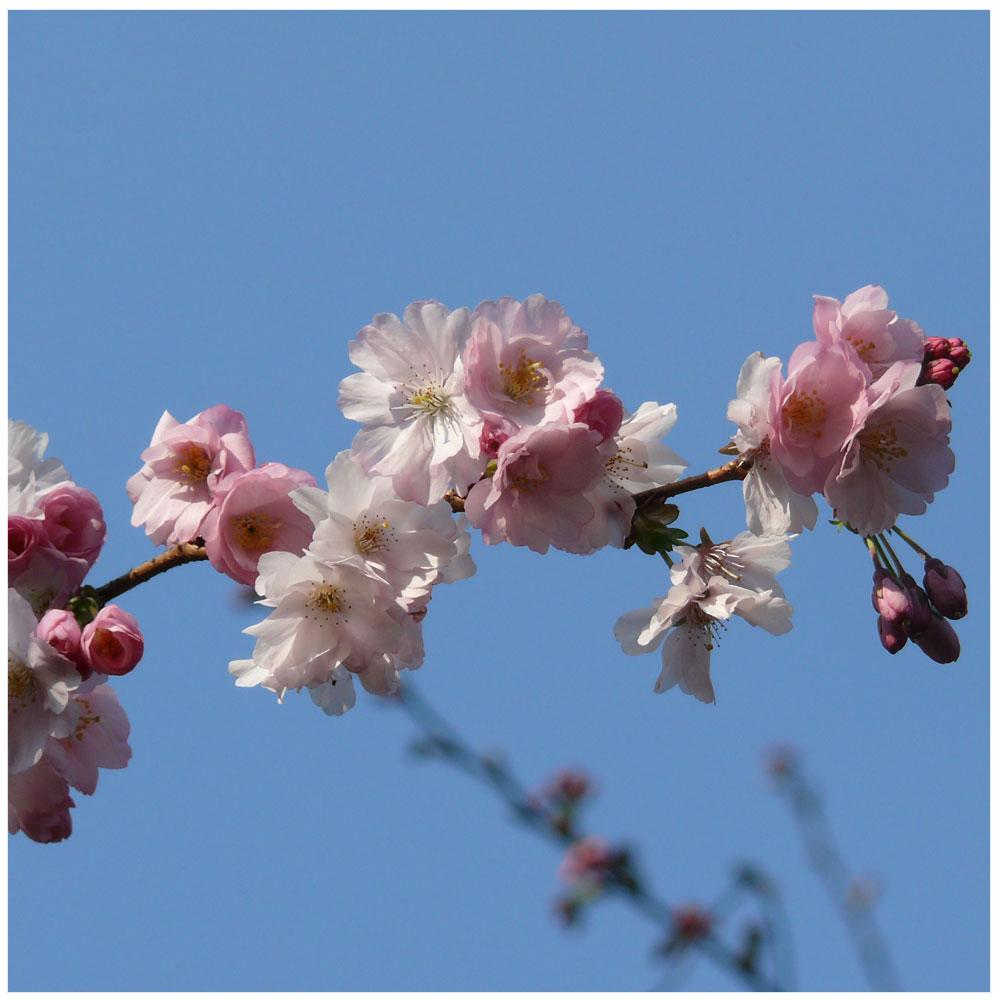 Schneekirsche (Prunus subhirtella)