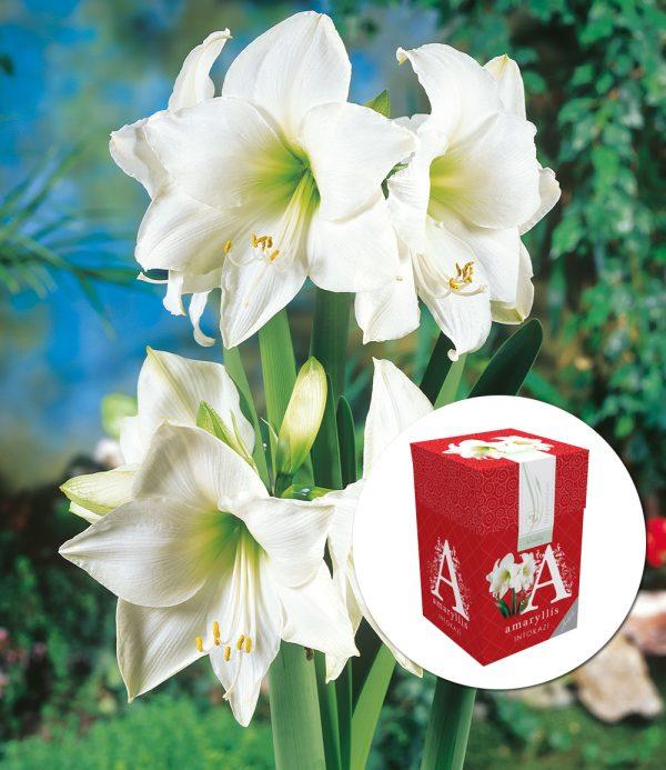 Amaryllis 'Weiße Intokazi' mit Geschenkbox 1
