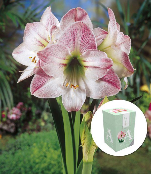 Amaryllis 'Apple Blossom' mit Geschenkbox 1