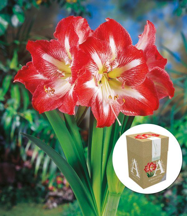 Amaryllis 'Minerva' mit Geschenkbox 1