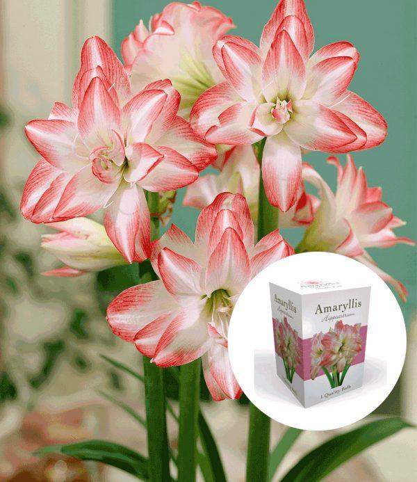Gefüllte Amaryllis 'Double Pink' mit Geschenkbox 1