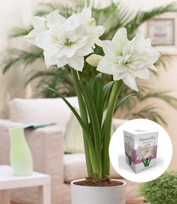 Gefüllte Amaryllis 'Double White' mit Geschenkbox 1