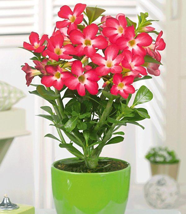 Aloe vera & Wüstenrose rot zum Vorteilspreis 1
