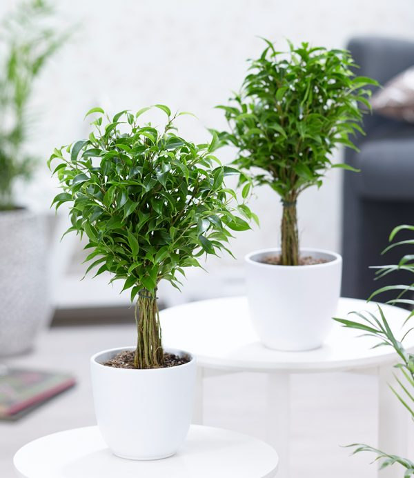 Ficus Stämmchen Duo 1