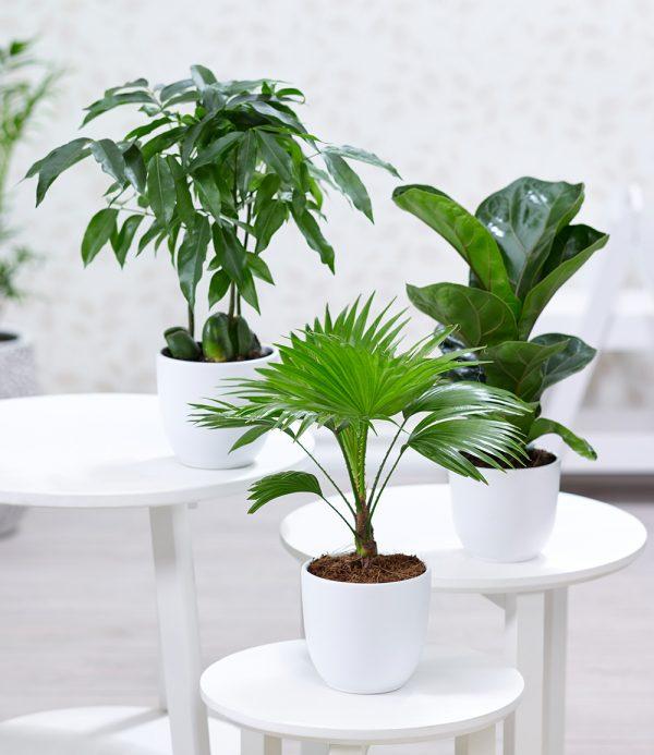 Zimmerpflanzen-Mix 'Royal' 1