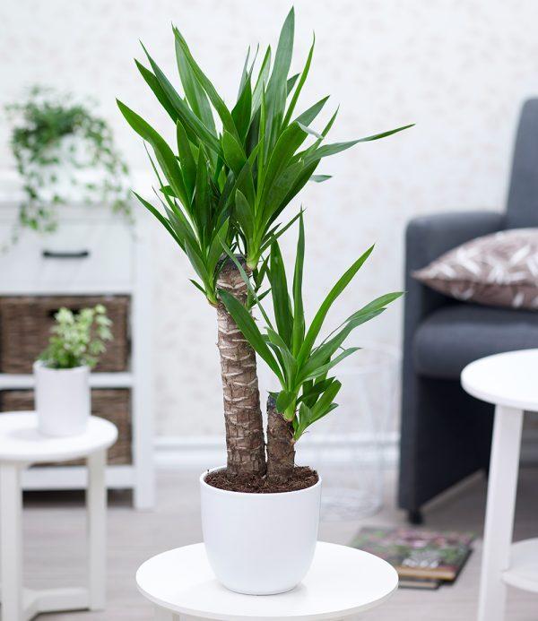 Yucca Palme ca. 70 cm hoch 1