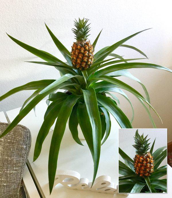 Ananaspflanze 'Corona' 1