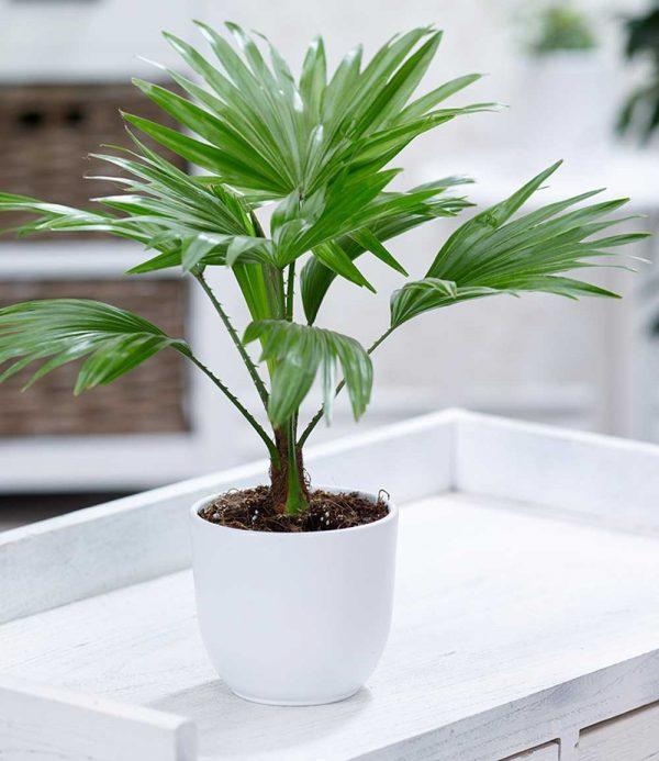 Palme 'Livistona Rotundifolia' 1