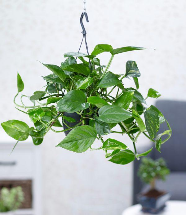 Hängepflanze Efeutute 1