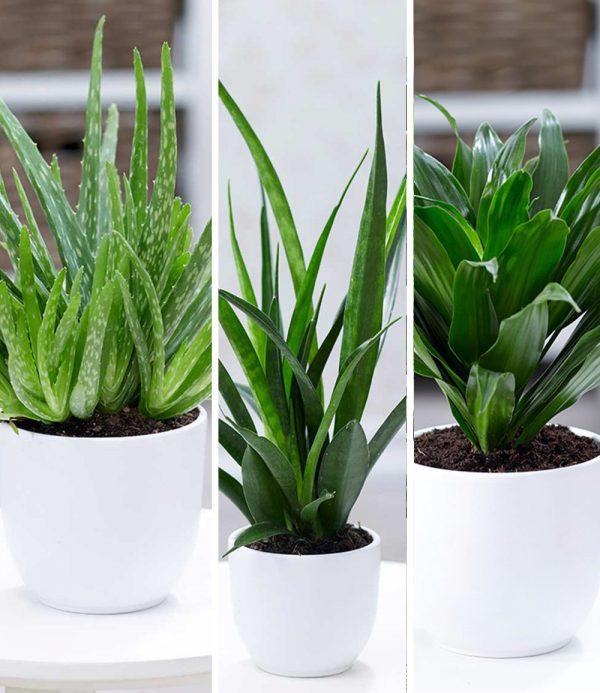 Zimmerpflanzen-Mix 'Grüne Lieblinge' 1