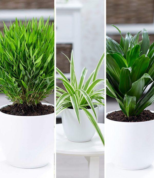 Zimmerpflanzen-Mix 'Grünes Trio' 1