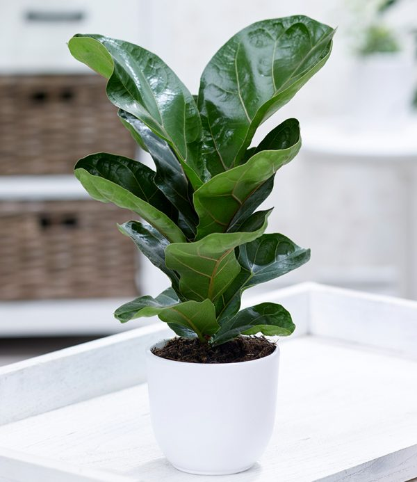 Ficus 'Bambina' 1