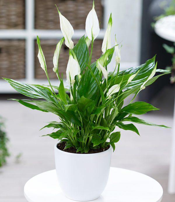 Spathiphyllum 1