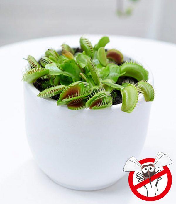 Fleischfressende Pflanze 'Venusfliegenfalle' 1