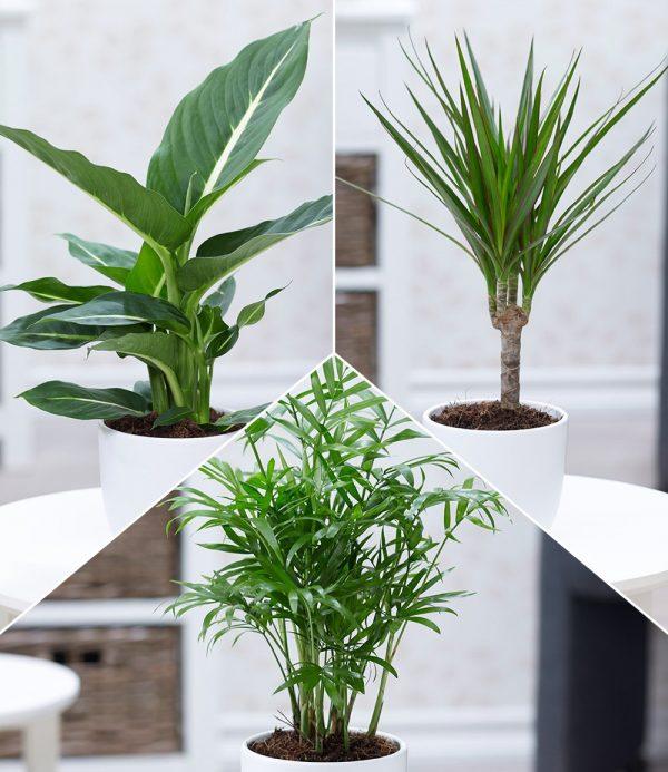 Luftreinigender Zimmerpflanzen-Mix 'Fresh Air' 1