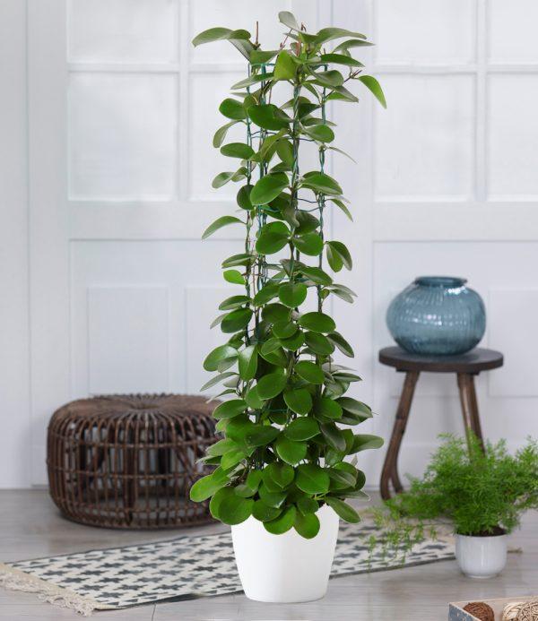Säulen-Wachsblume 'Hoya australis' 1