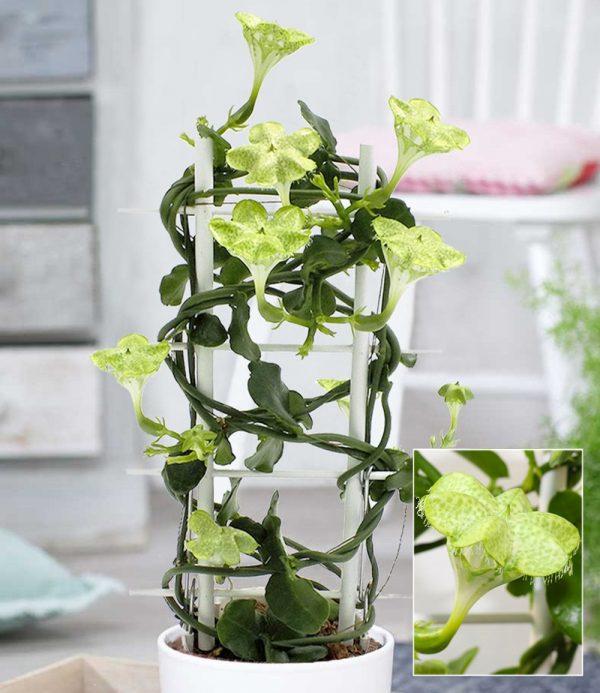 Kletternde Leuchterblume 1