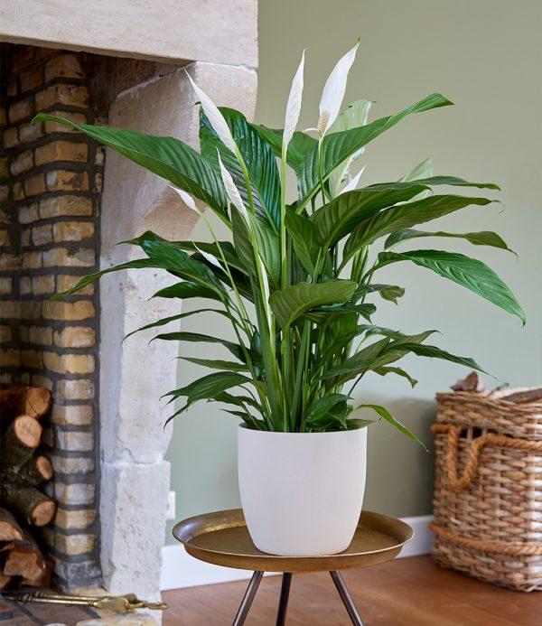Spathiphyllum ca. 50 cm hoch 1
