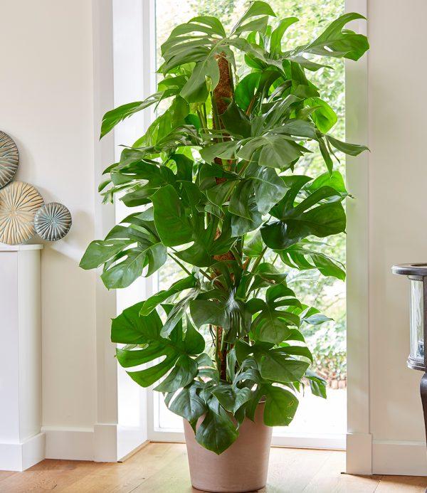 Monstera - Fensterblatt ca. 50 cm hoch 1