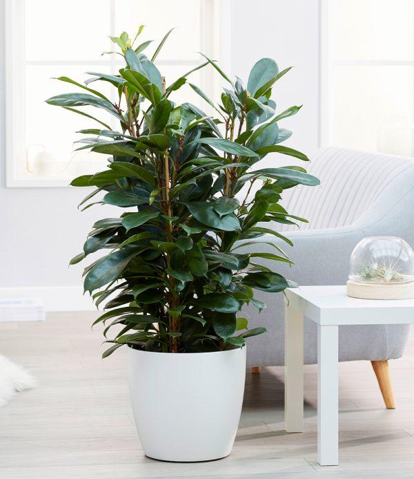 Afrikanischer Feigenbaum ca. 100 cm hoch 1