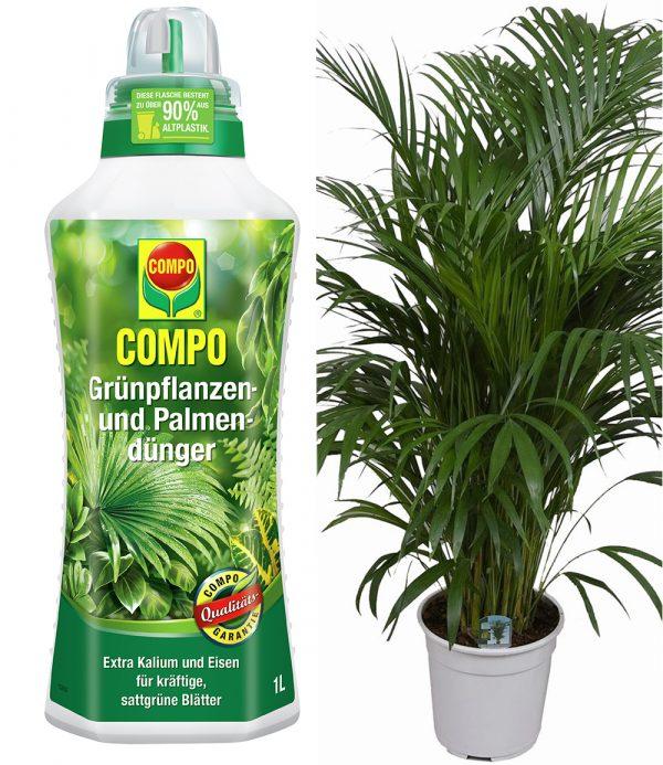 COMPO® Palmendünger & Areca Palme ca. 100 cm hoch 1