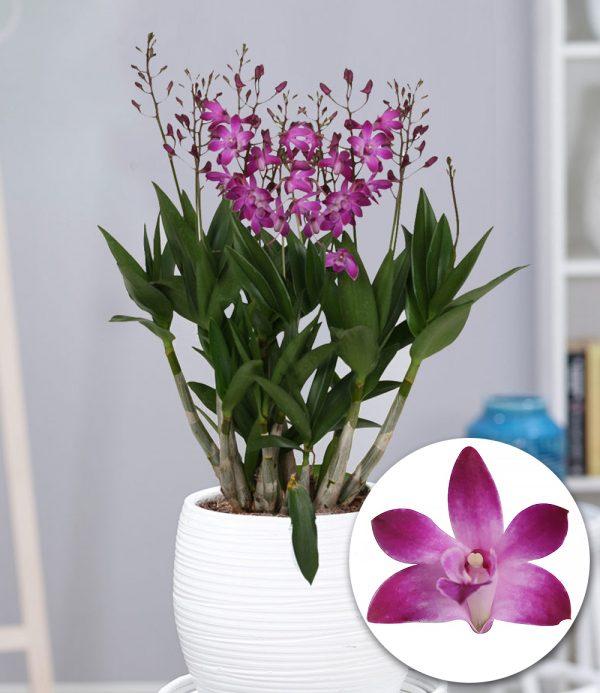 Dendrobium 'Berry Oda' 1
