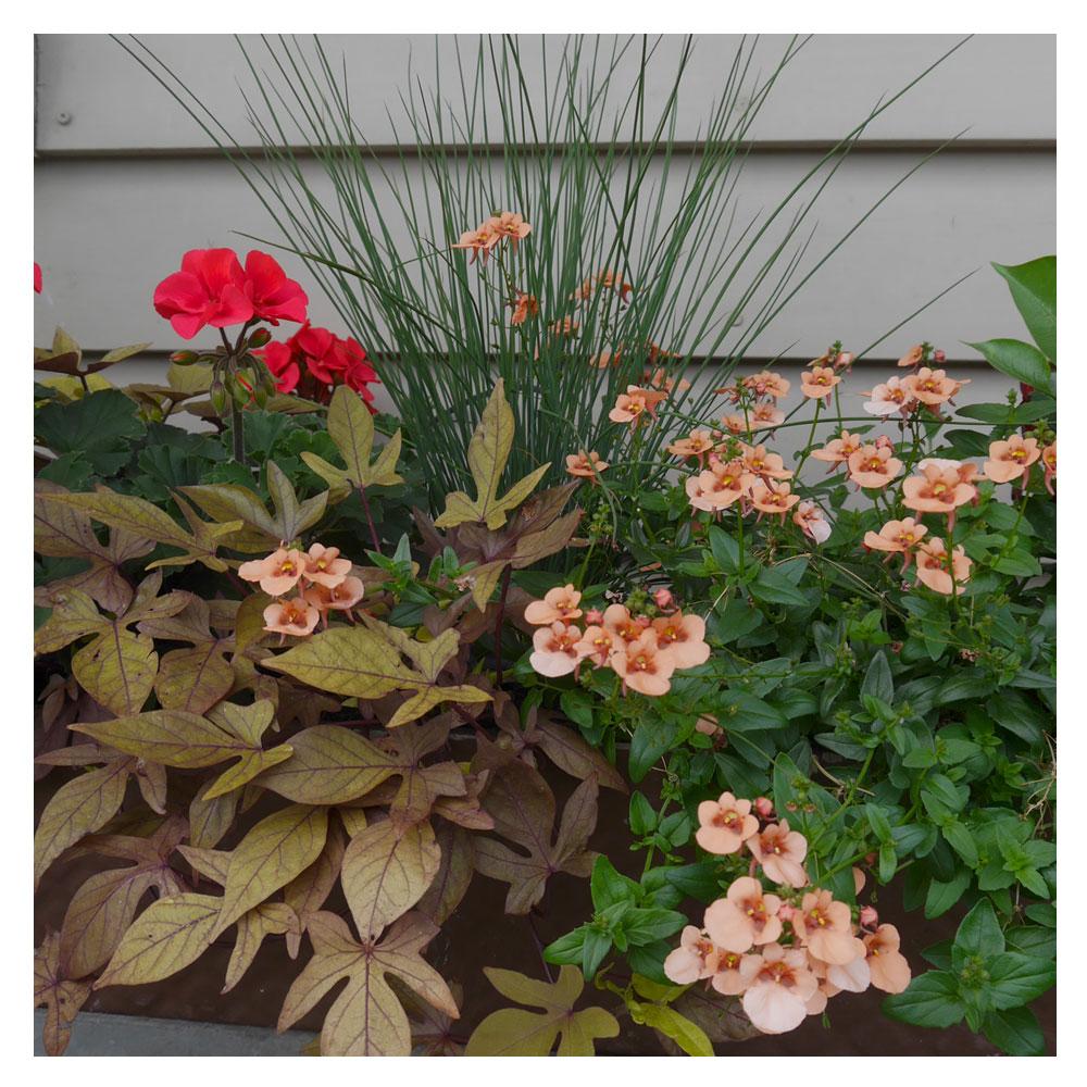 Balkonpflanzen Blattschmuck