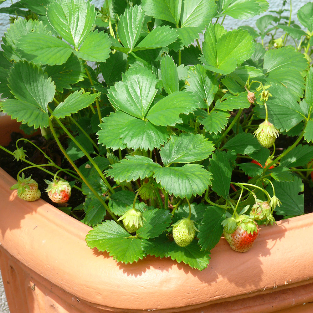Erdbeeren bienenfreundlich