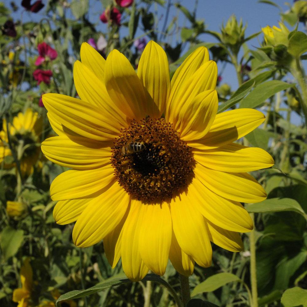 Artenschutz auf dem Balkon: Bienenfreundliche Balkonpflanzen 4
