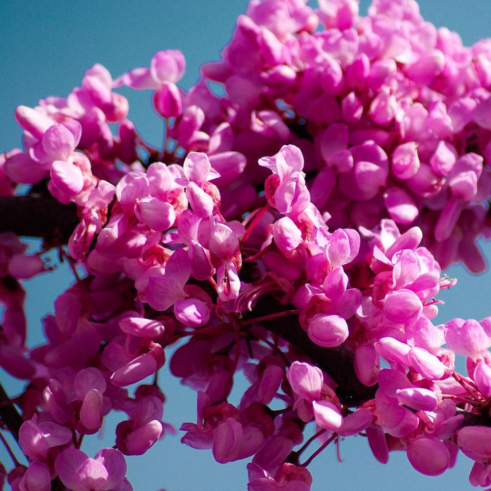 Die schönsten Blütenbäume für den Garten 2