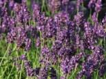Insektenfreundliche Pflanzen: Was Bienen, Hummeln & Co wirklich schmeckt 8