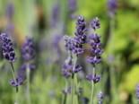Lavendel pflanzen - Tipps und Ideen 7